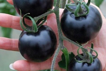 Qeyri-adi tərəvəz: Qara pomidor görənləri təəccübləndirdi - VİDEO