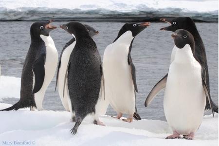 Alimlər milyonlarla pinqvinin olduğu ada aşkarlayıblar - VİDEO