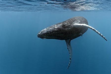 Yaponiya kommersiya məqsədi ilə balina ovunu bərpa edir