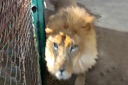 Şir zooparkın qadın işçisini parçaladı