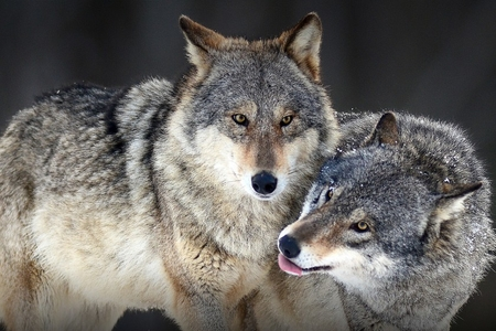 Çexiyada canavarların populyasiyası artır