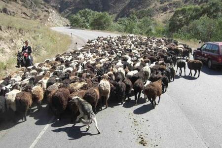Qazaxda çobanı və qoyun sürüsünü avtomobil vurdu - 57 heyvan tələf olub