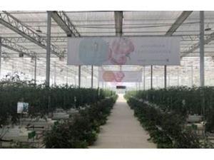 """Çində pomidor """"5G"""" texnologiyası ilə yetişdirilir"""