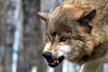 Oğuzda canavarın ağır xəsarət yetirdiyi yeniyetmə Bakıya göndərilib