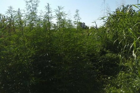 Meşədə narkotik plantasiyası salan İsmayıllı sakini tutulub