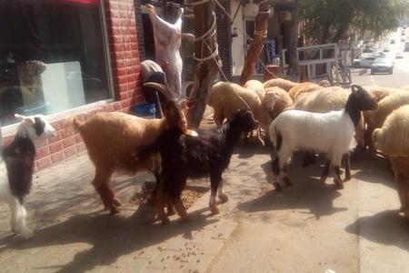Bakıda qurbanlıq bazarında özfəaliyyət - Reportaj